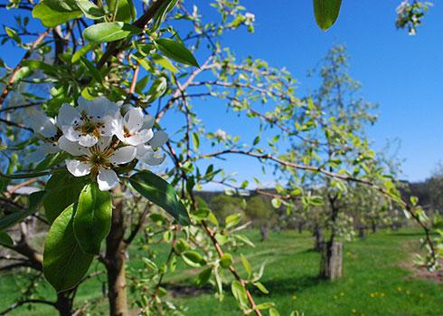 Obstbäume mit Apfelblüte im Vordergrund