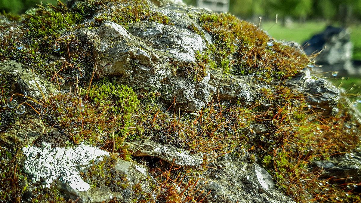 Moose und Flechten an einem Stein, mit Tautropfen