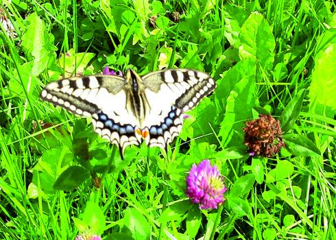 Schwalbenschwanz auf der Schmetterlingswiese